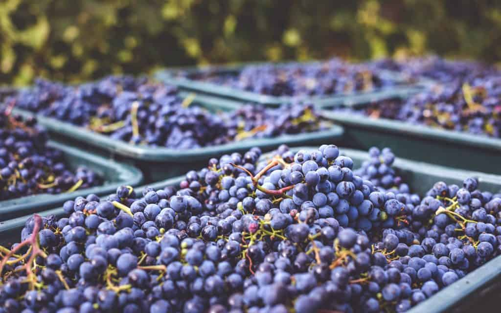 Bunches of grapes are piled high into baskets at harvest time at the vineyard.