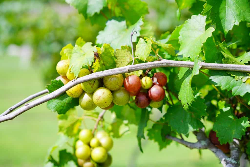 Green and red grapes hang from the vine at a vineyard.