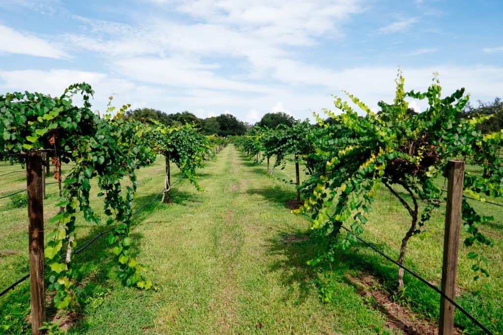 Grape trees are lined in rows at a vineyard at one of the best wineries in Florida.