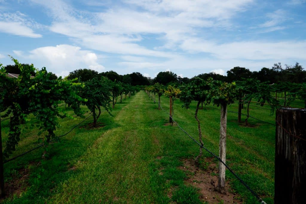 Rows of newly planted grape trees line the vineyard.
