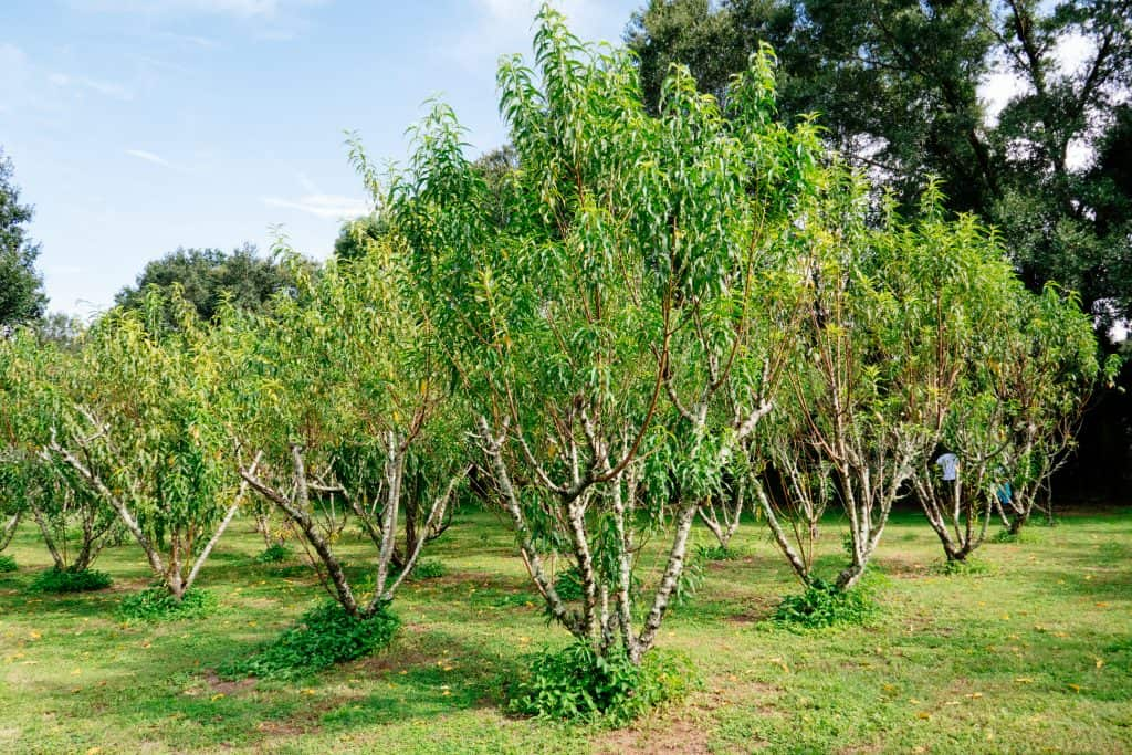 Peach trees produce delicious fruit wines at one of the best wineries in Florida.