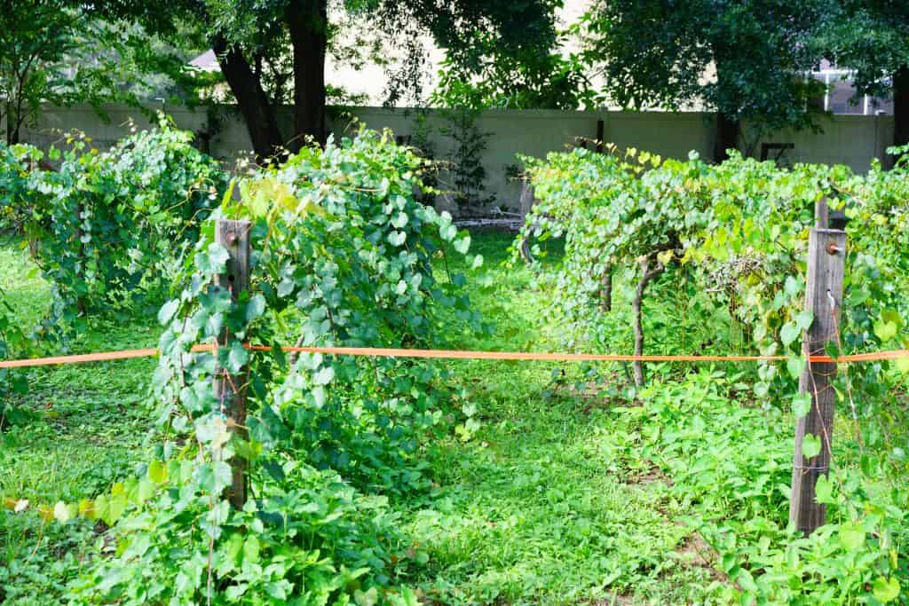 Vines are growing incredibly quickly at this winery in Florida.