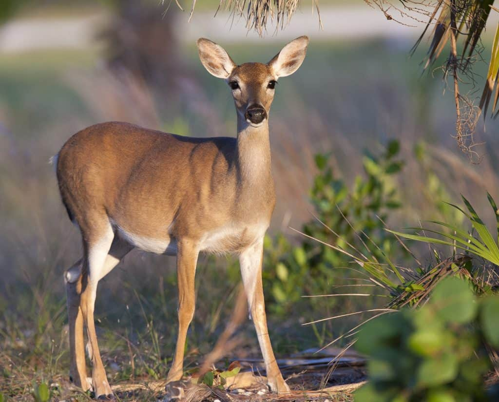 Photo of a Key Deer which is one of the animals you might see on a Key West tour.