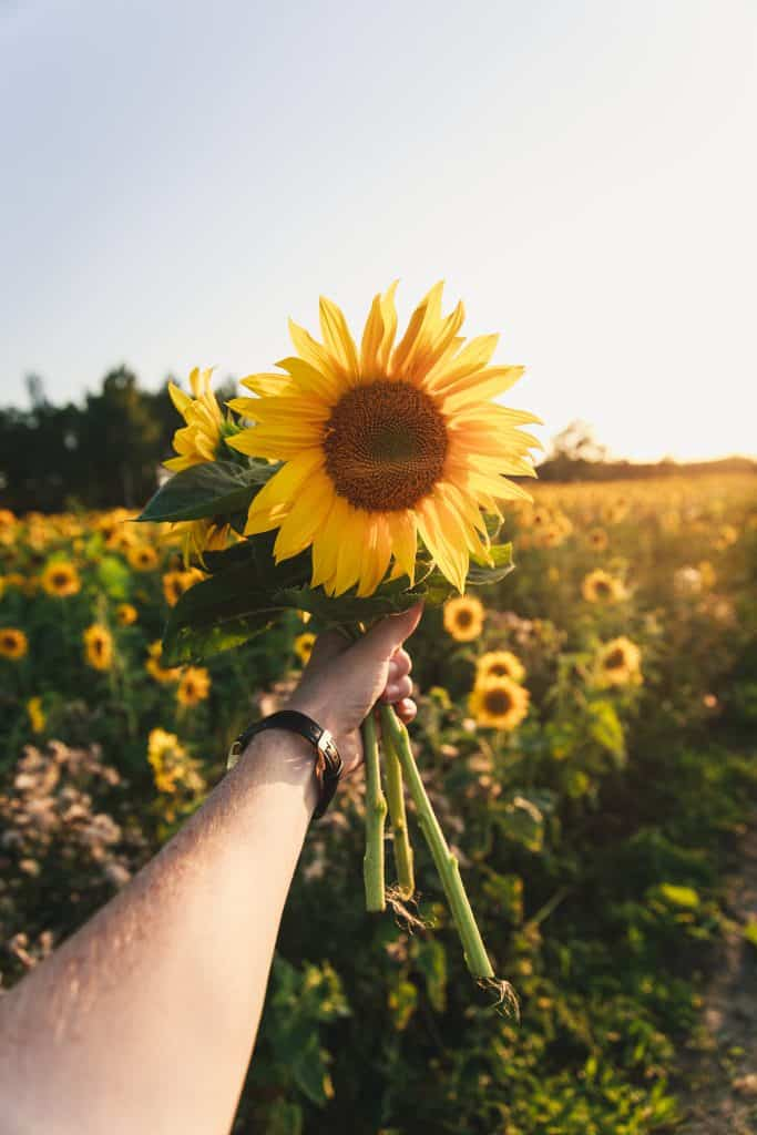Photo of an outstretched arm holding freshly cut sunflowers.