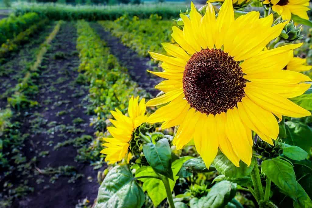 Photo of a sunflower bloom up close with farming plots in the background.
