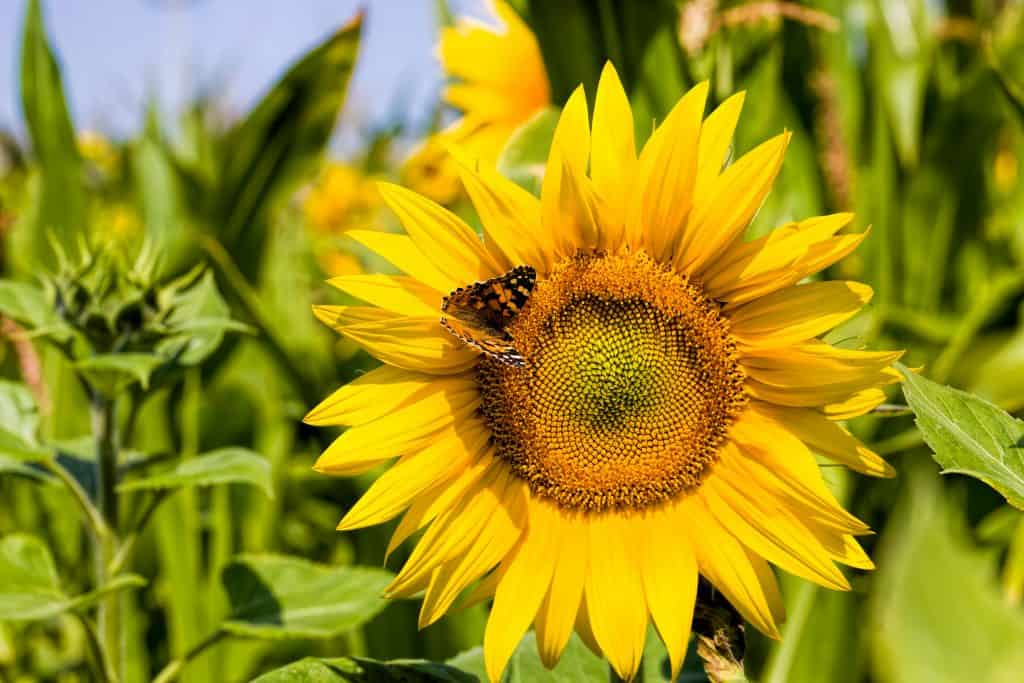 Photo of a sunflower blossom up close with a butterfly on the petals.
