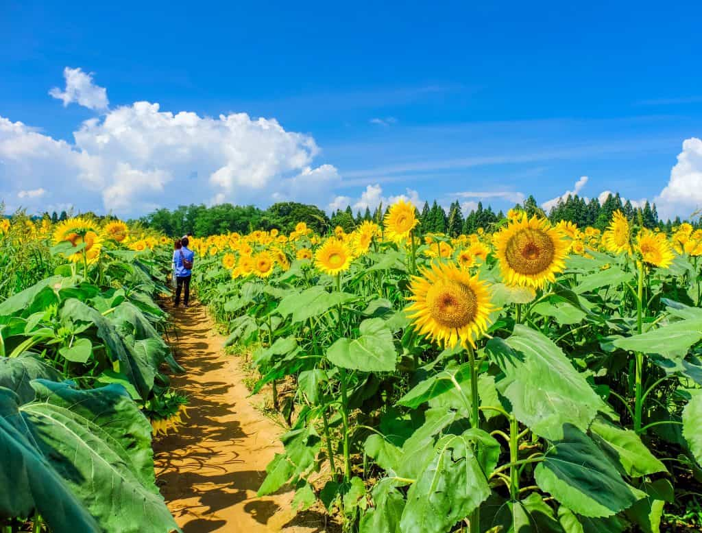 Photo of a large sunflower field with visitors, just like what you might see when visiting sunflower fields in Florida.