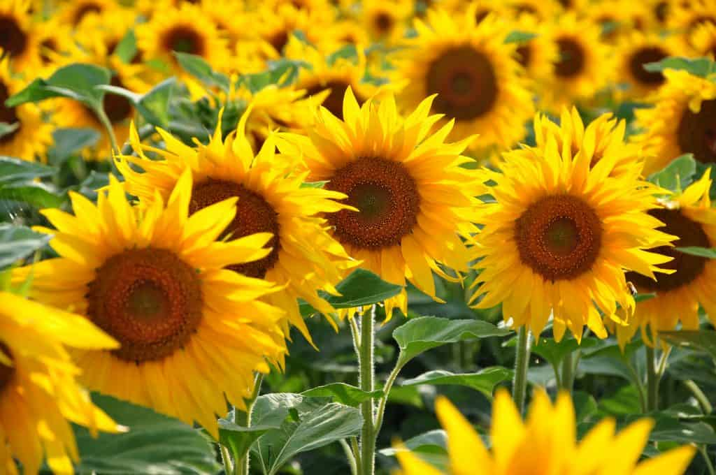 Photo of multiple sunflower blossoms up-close.