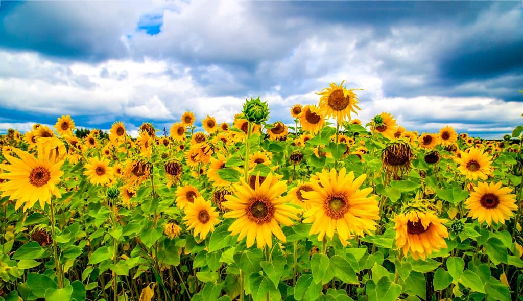 Photo of a large sunflower field on a partly cloudy day.