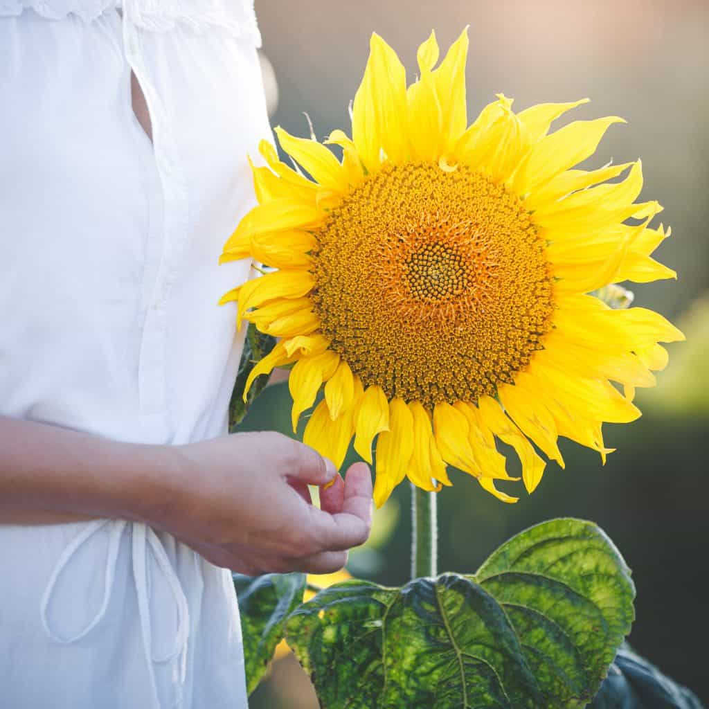Photo of a very large sunflower with a partially seen woman in a white dress standing next to it.