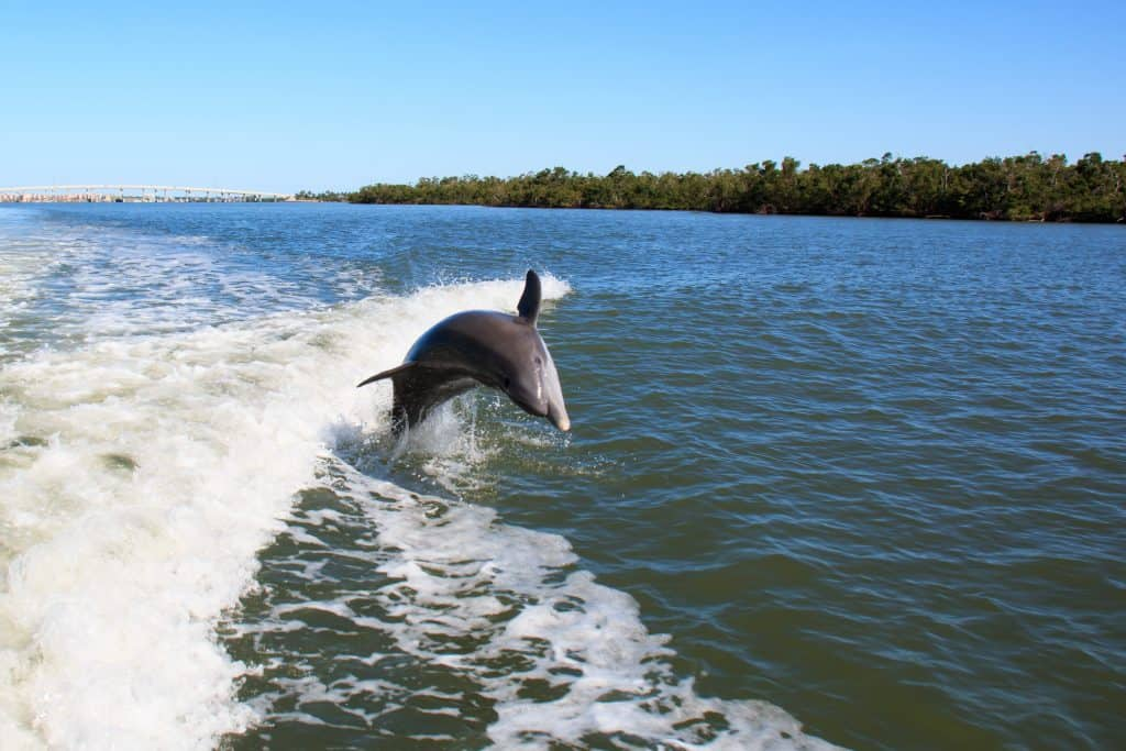 A dolphin jumps out of the water on one of the best Naples boat trips.