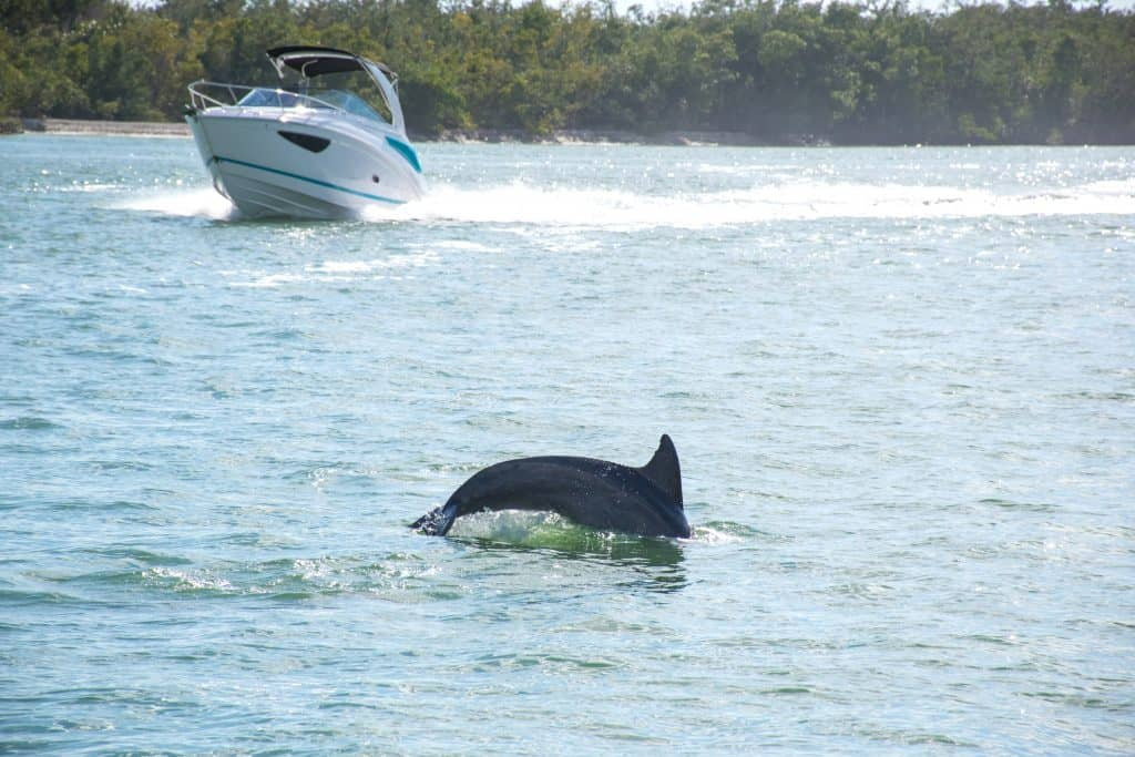 A dolphin breaches the water as a boat tour from Naples passes by.