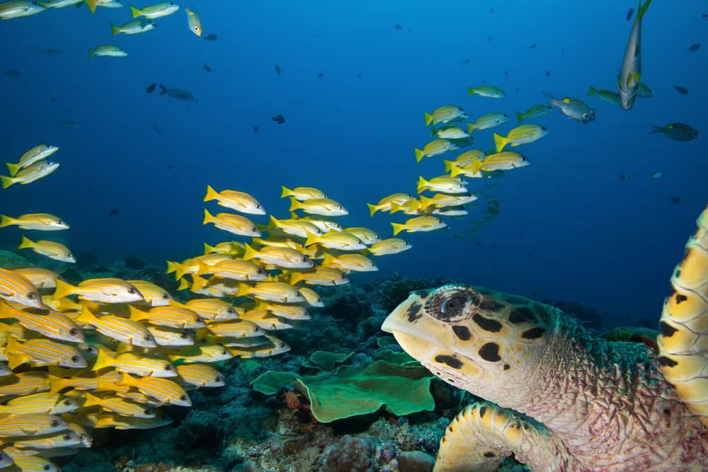 Jupiter is quickly becoming a very popular scuba diving in florida spot due to the large variety of marine life.