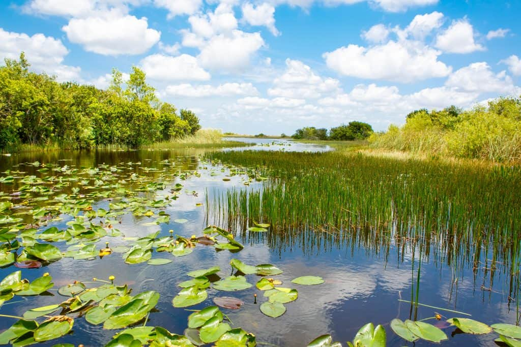 Lily pads float and reeds emerge from the murky waters of the Everglades.