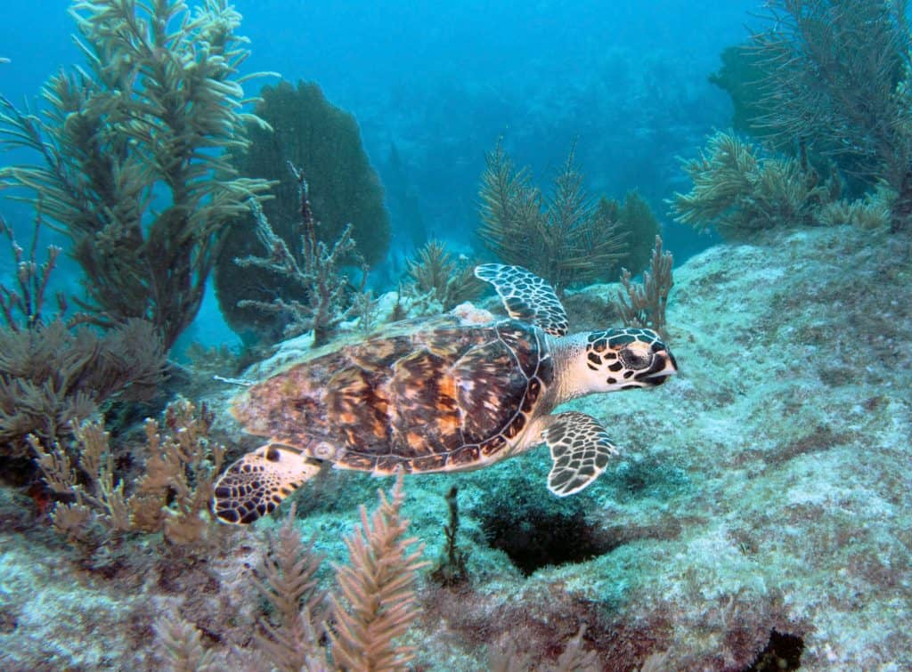 A sea turtle swims in the waters of Key Largo, one of the best day trips from Miami.
