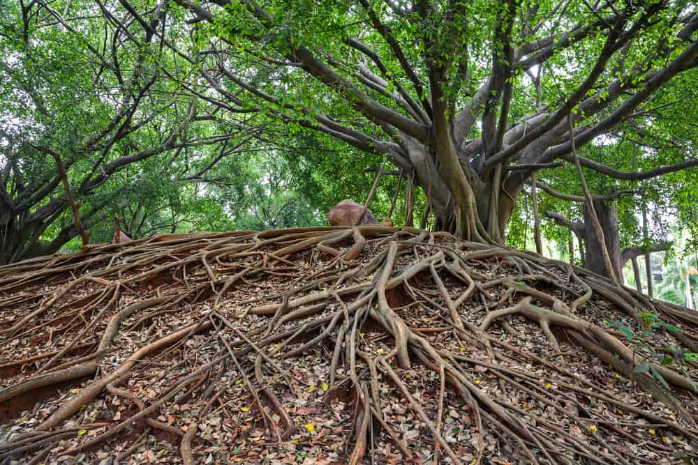 A banyan tree and its roots at Marie Selby Botanical Gardens in Sarasota.