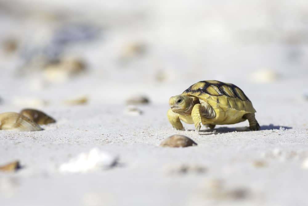 Today, Butler Beach is home to a vulnerable dune ecosystem that houses the endangered Anastasia Island beach mouse and the gopher tortoise.