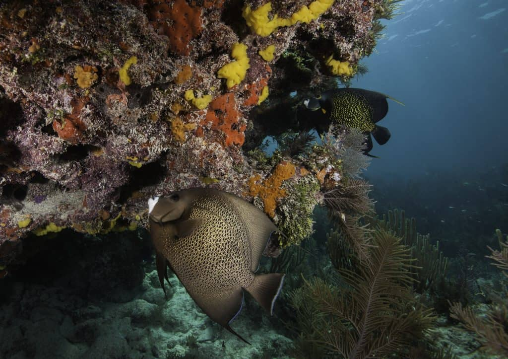 A fish swims next to a coral reef in John Pennekamp State Park, one of the best things to do in Key Largo.