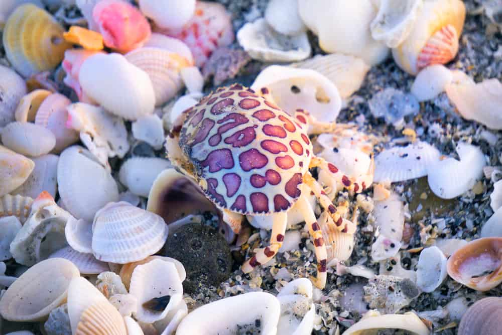 A crab and sea shells on Englewood Beach in Southwest Florida.