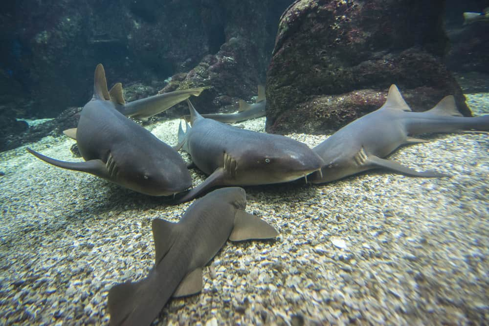 A view of nurse sharks at the bottom of the water, gathered amid the coral reef.