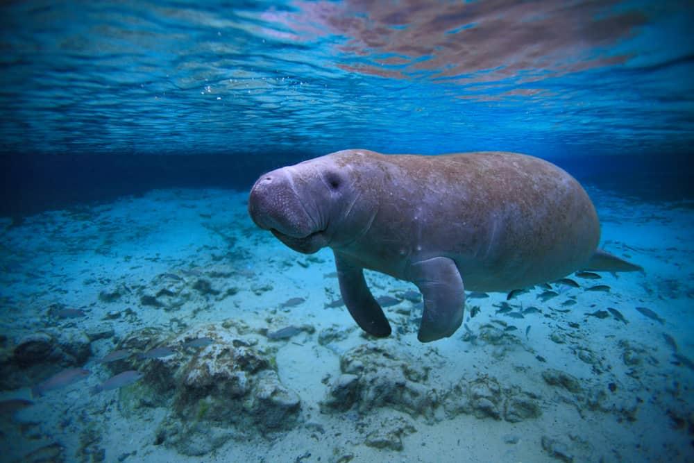 A manatee swimming underwater.