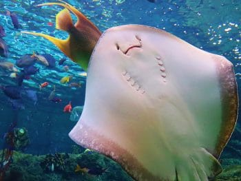 A stingray swims in front of a background of various coral reef fish.