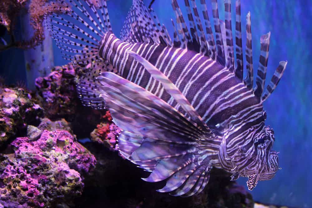 One of the majestic lionfish swimming in front of coral.