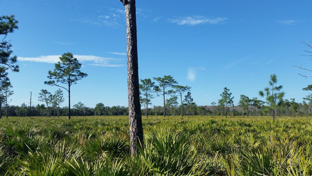 trees, grass and a blue sky at the Disney Wilderness Preserve one of many free things to do in Orlando