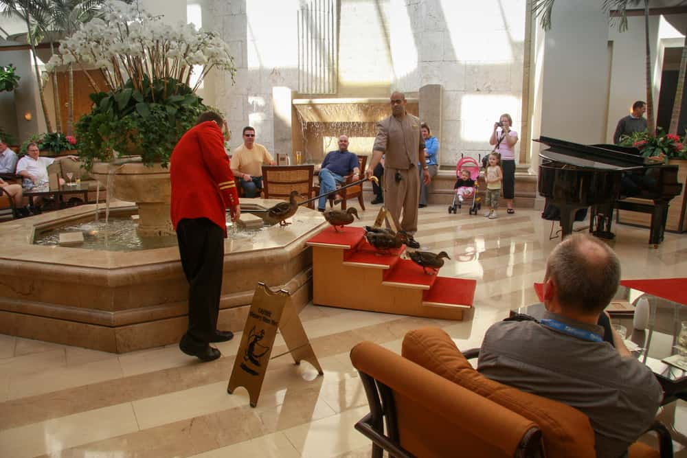 ducks at the peabody hotel in Orlando walking down their red carpet