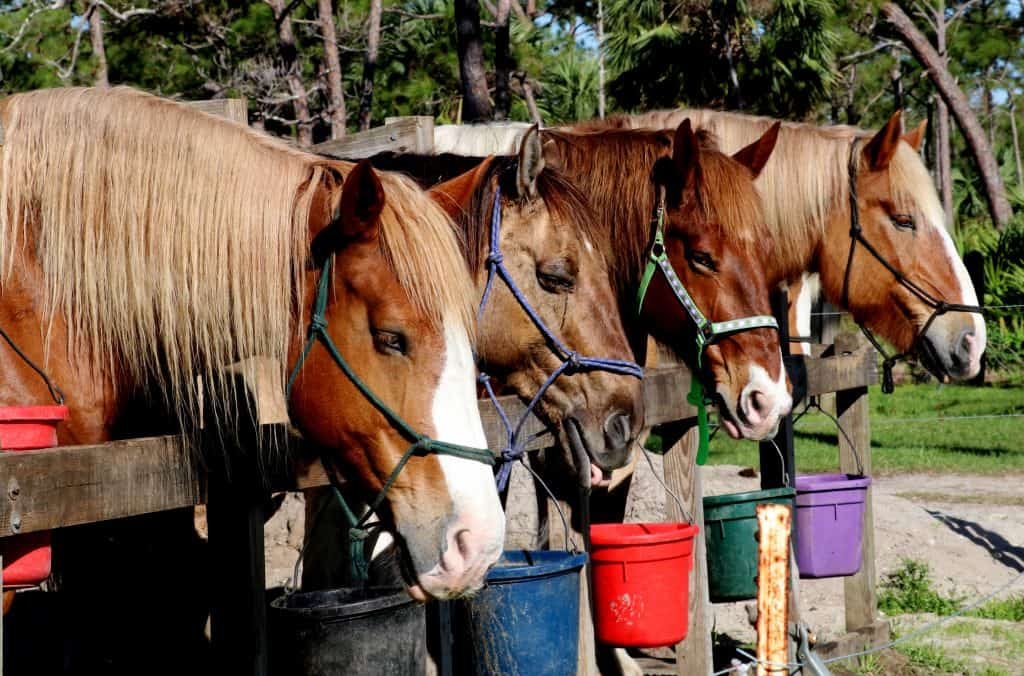 Horses are ready to ride at Jonathan Dickinson State Park
