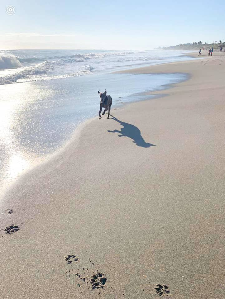 A Weimaraner runs through the shore of the dog beach, one of the best things to do in Jupiter.