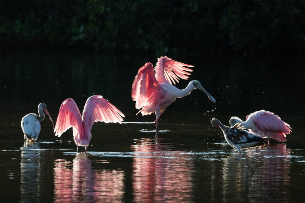 Spoonbills, pink in color, feed in nature wild refuges.