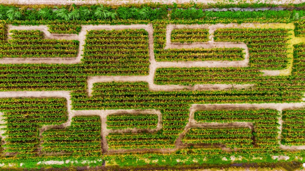 An aerial view of the paths in one of the corn mazes in Florida.
