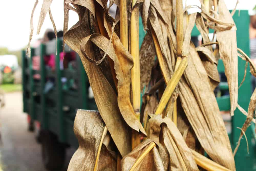 A cornstalk attached to a wagon full of people going on a hayride.