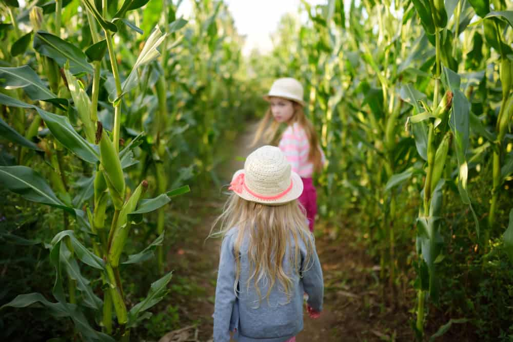Two young girls wearing hats walking down a path in a corn maze, similar to many corn mazes in Florida.