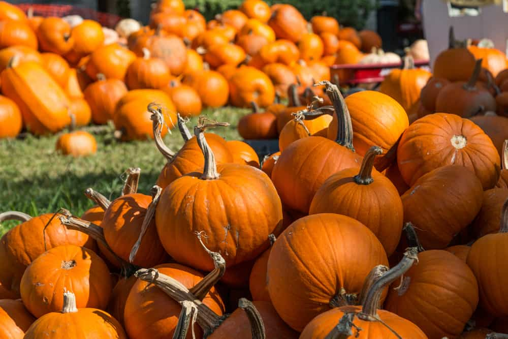 Dozens of different-sized pumpkins piled up at one of the pumpkin patches in Miami, Florida.