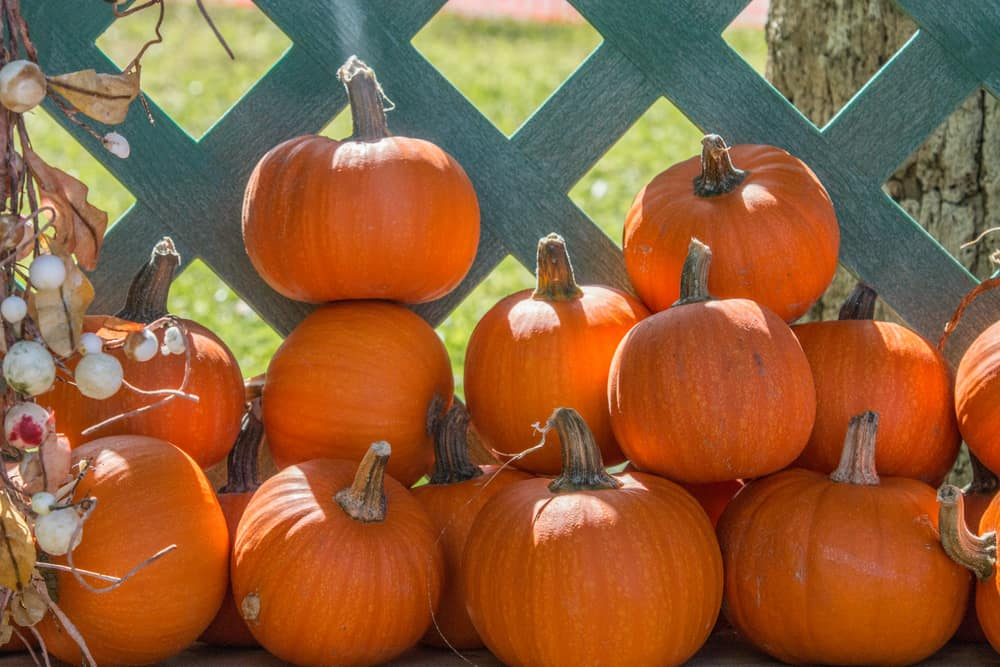 A pile of pumpkins stacked against a fence at one of the pumpkin patches in Florida.