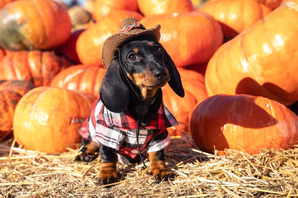 A dachshund dog dressed in flannel and a cowboy hat, sitting in front of a pile of pumpkins.