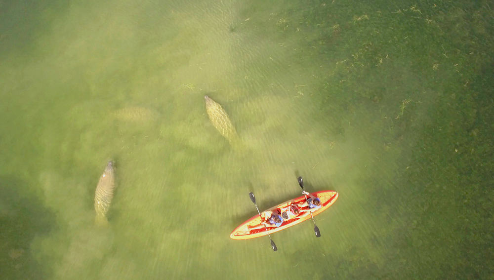 Aerial show of two people in an orange kayak with two manatees swimming around them
