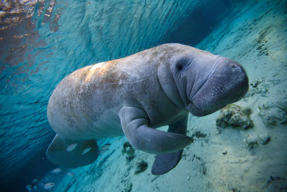 Manatee swimming in crystal river