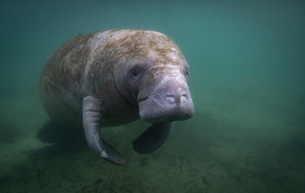 A Manatee swimming underwater