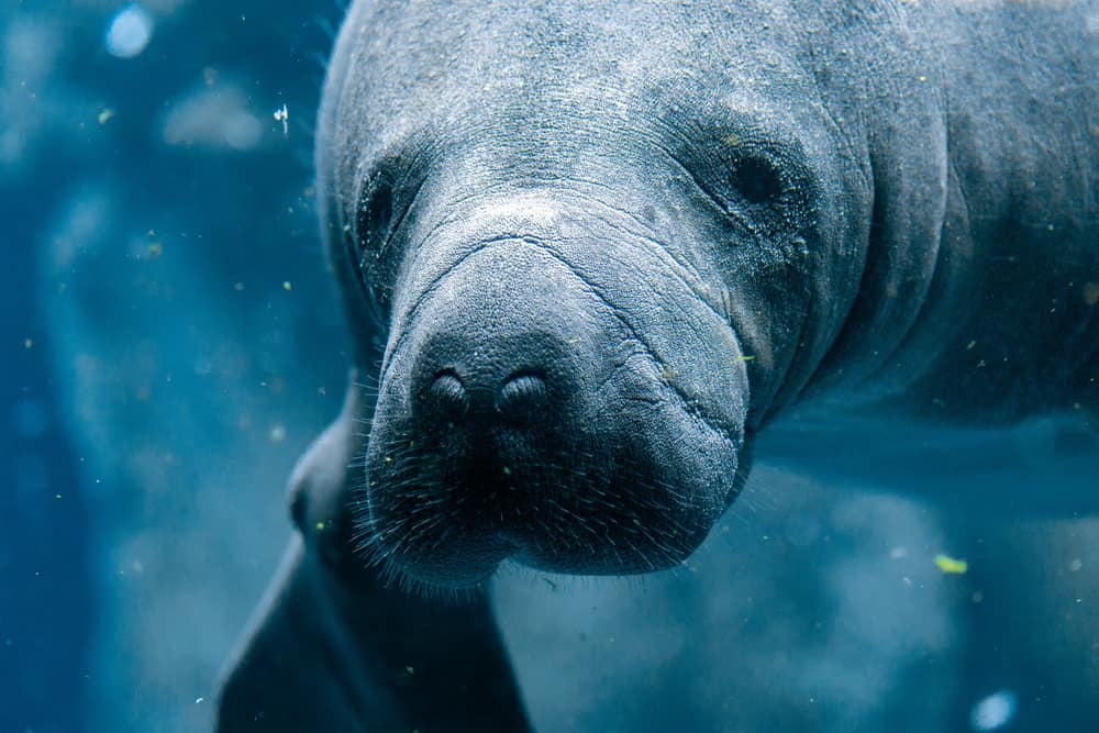 Up close shot of a manatee in water in an article about kayak with manatees in Florida