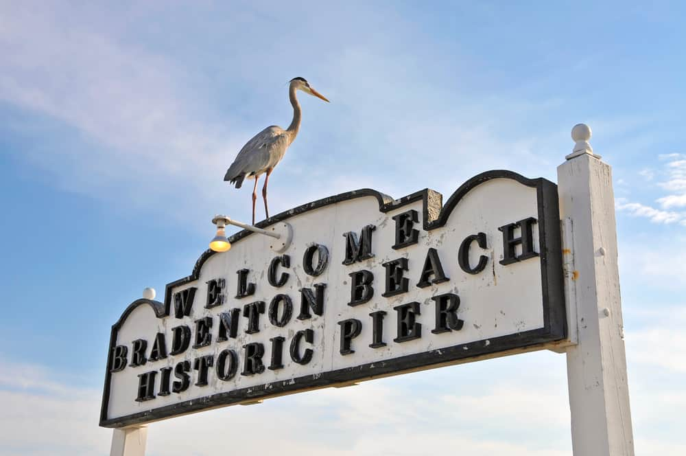 The sign for the Bradenton Beach Pier. It is white with black lettering. Perched on top of it is a large Great Blue Heron bird.