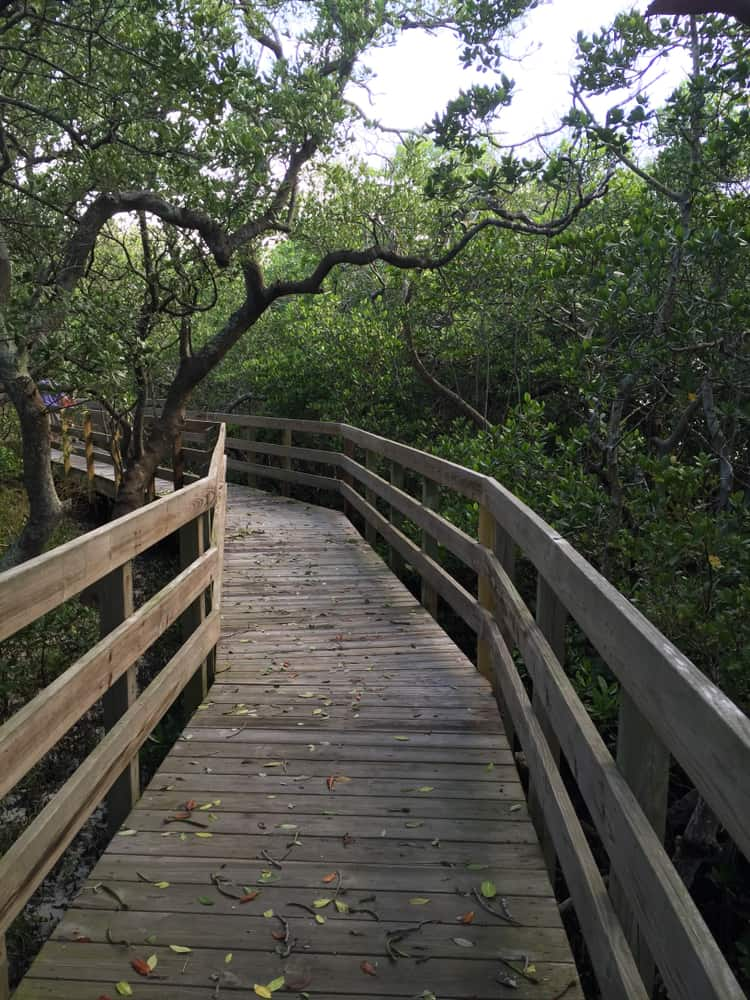 A wooden boardwalk surrounded by mangrove trees, one of the best things to do in Anna Maria Island.